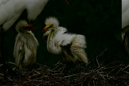 Close-up of two newborn Great Egrets in a nest (Ardea alba) : Stock Photo