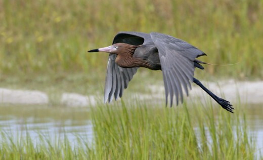 Side profile of a Reddish Egret flying (Egretta rufescens) : Stock Photo