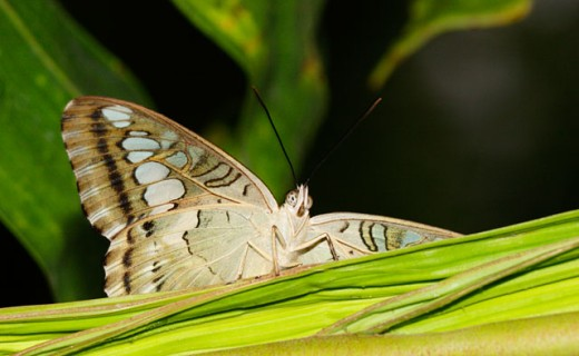 Close-up of a Clipper Butterfly on a leaf : Stock Photo