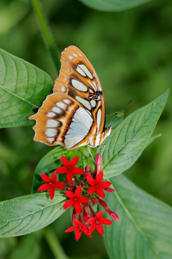Malachite Butterfly : Stock Photo