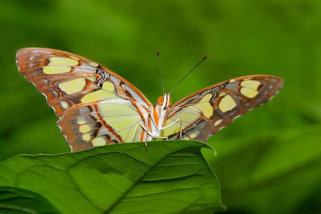 Stock Photo: 837-2774 Malachite Butterfly