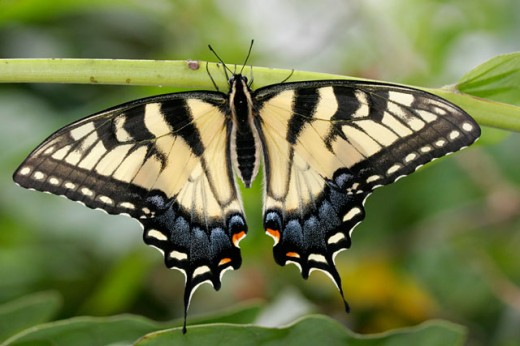 Tiger Swallowtail Butterfly : Stock Photo