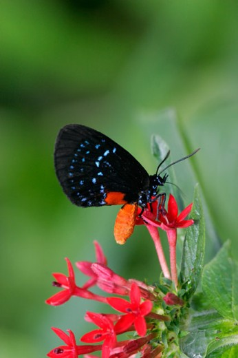 Atala