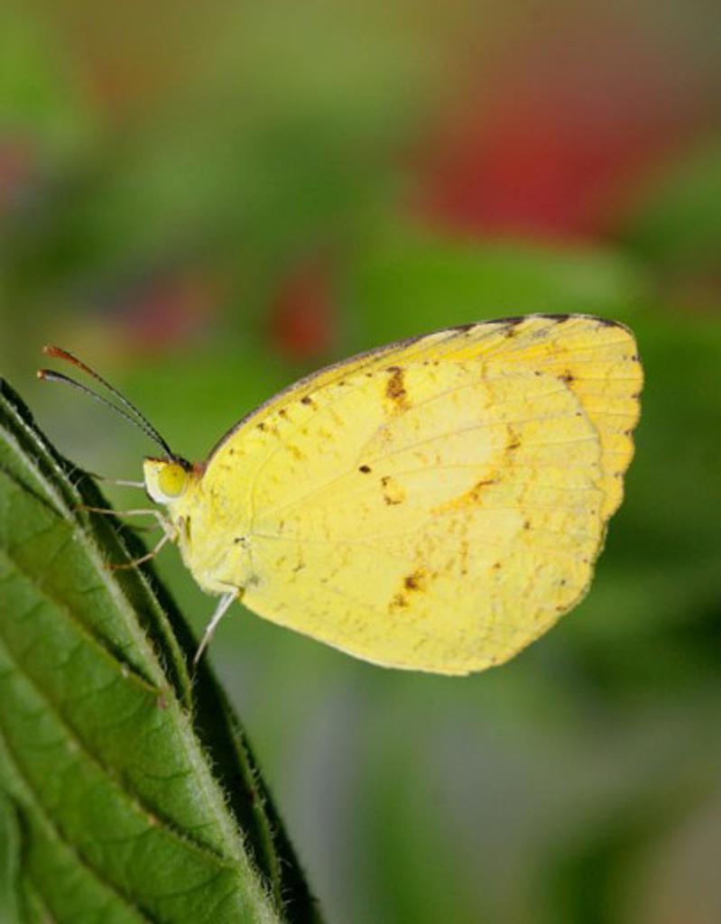 Side profile of a Sleepy Orange Butterfly on a leaf (Eurema nicippe) : Stock Photo