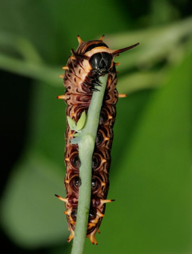 Stock Photo: 837-2827 Close-up of a caterpillar of a Gold Rim Swallowtail Butterfly crawling on a twig