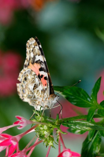 Close-up of a Painted Lady Butterfly on a flower (Vanessa cardui) : Stock Photo