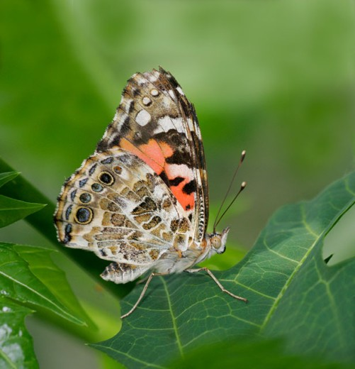 Side profile of a Painted Lady Butterfly on a leaf (Vanessa cardui) : Stock Photo