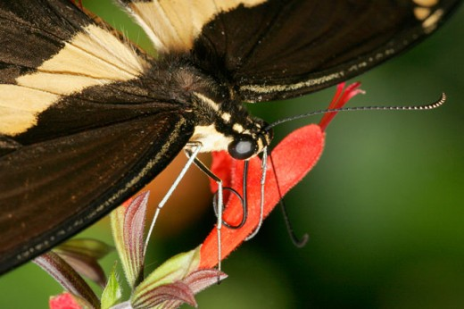 Stock Photo: 837-2913 Close-up of a Giant Swallowtail Butterfly on a flower pollinating (Papilio cresphontes)