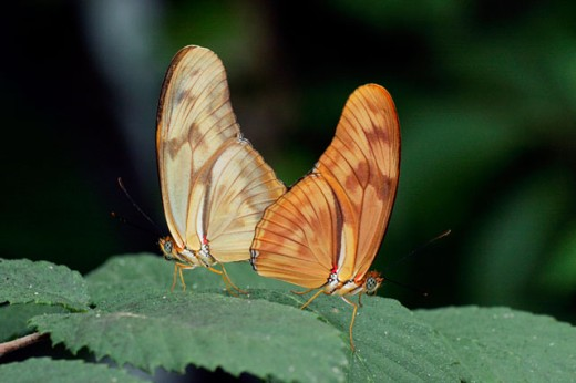 Close-up of two Julia butterflies on leaves (Dryas julia) : Stock Photo
