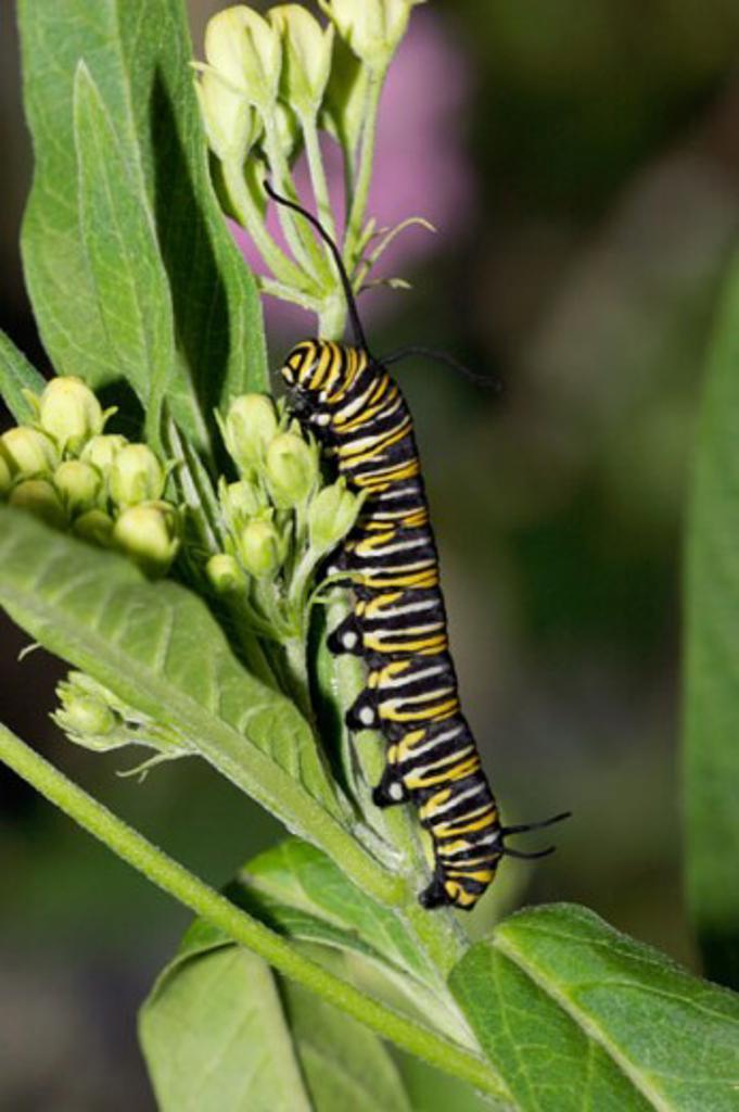 Close-up of a caterpillar of a Monarch butterfly crawling on a stem (Danaus plexippus) : Stock Photo