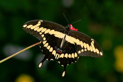 Close-up of a Giant Swallowtail on a branch (Papilio cresphontes) : Stock Photo