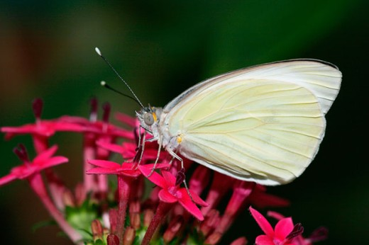 Stock Photo: 837-3094 Side profile of a Great Southern White butterfly pollinating flowers (Ascia monuste)