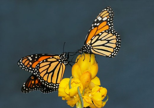 Side profile of two Monarch Butterflies (Danaus plexippus) pollinating a cassia flower : Stock Photo