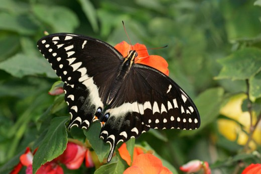 Close-up of a Palamedes Swallowtail butterfly pollinating a flower (Papilio palamedes) : Stock Photo