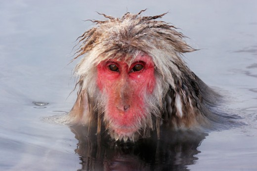 Stock Photo: 837-3144 Close-up of a Japanese Macaque in a lake (Macaca fuscata)