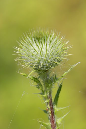 Close-up of a Bull Thistle (Cirsium vulgare) : Stock Photo
