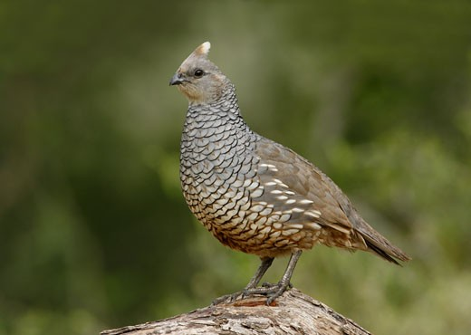 Stock Photo: 837-3286 Close-up of a Scaled quail (Callipepla squamata) perching on a branch
