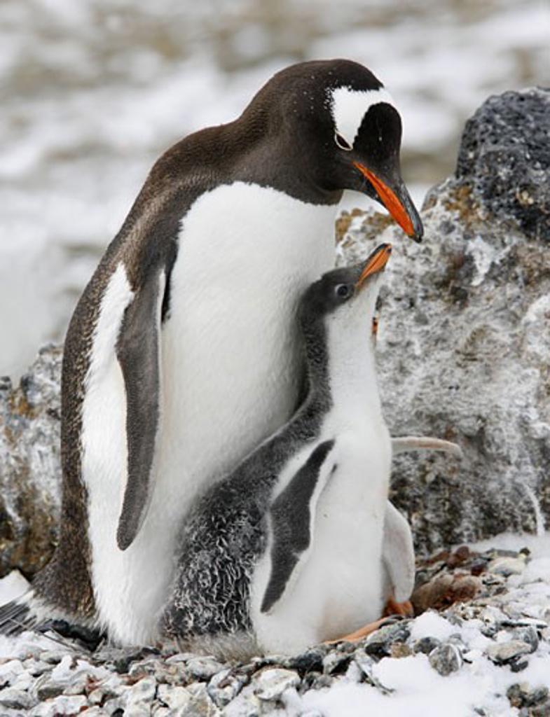Gentoo penguin (Pygoscelis papua) feeding its young one, Antarctica : Stock Photo