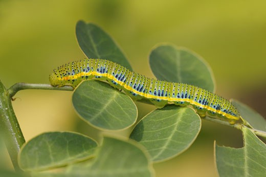 Stock Photo: 837-3345 Cloudless Sulphur butterfly (Phoebis sennae) caterpillar on a branch