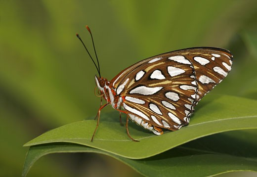 Stock Photo: 837-3346 Gulf Fritillary butterfly (Agraulis vanillae) on a leaf