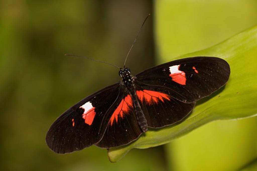 Postman butterfly (Heliconius melpomene) on a leaf : Stock Photo