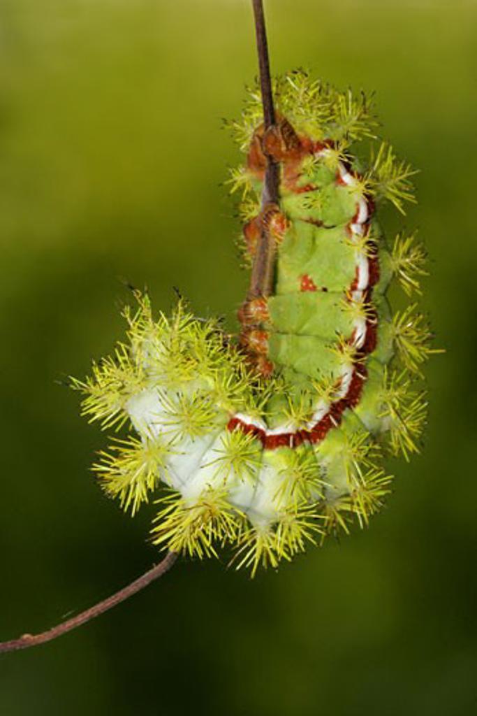Io moth (Automeris io) caterpillar on a stem : Stock Photo