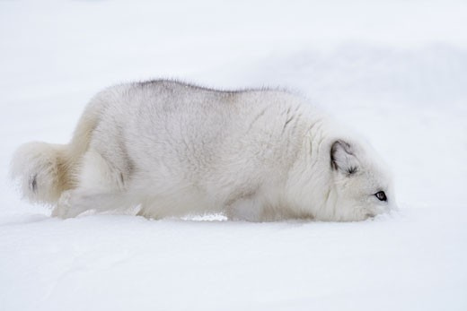 Arctic fox (Alopex lagopus) digging snow with its mouth : Stock Photo