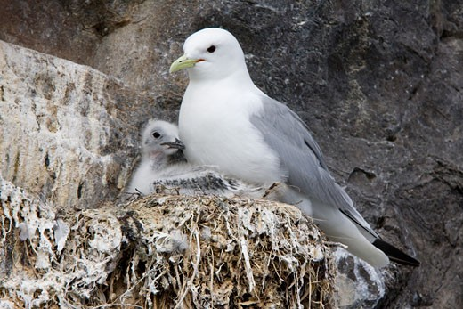 Stock Photo: 837-3509 Black-Legged kittiwake (Rissa tridactyla) with its young one in nest