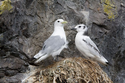 Stock Photo: 837-3510 Black-Legged kittiwake (Rissa tridactyla) with its young one in nest