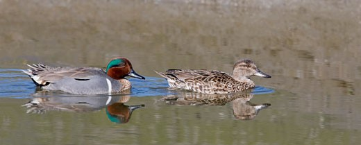 Stock Photo: 837-3561 Green-Winged teal (Anas crecca) pair swimming in a pond