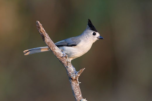 Stock Photo: 837-3604 Black-Crested titmouse (Baeolophus atricristatus) perching on a branch