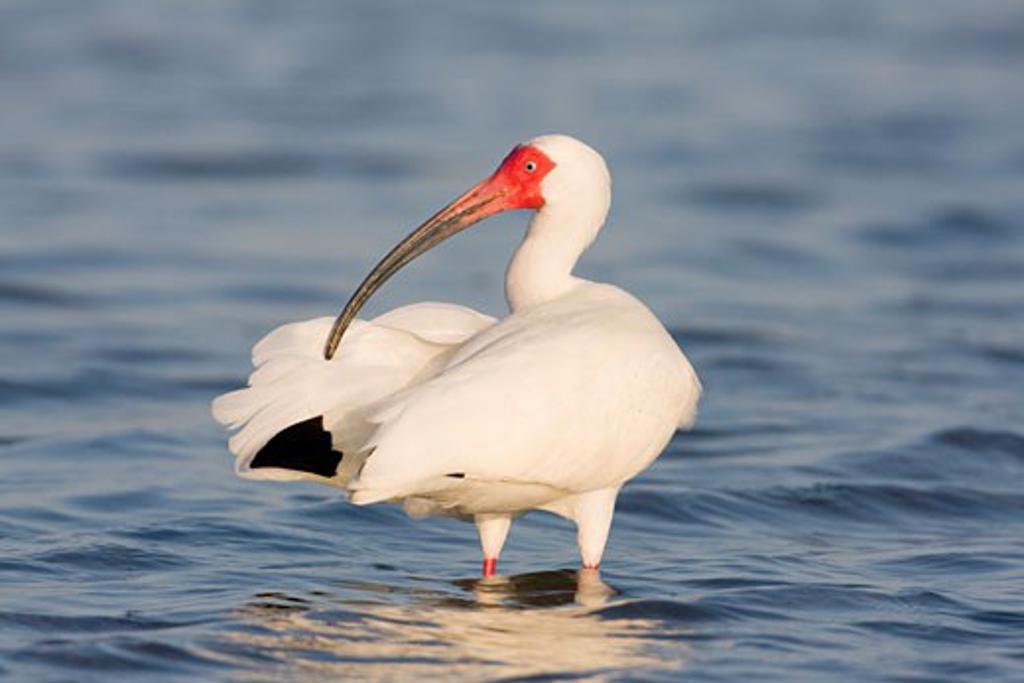 Stock Photo: 837-3612 White ibis (Eudocimus albus) preening its wings