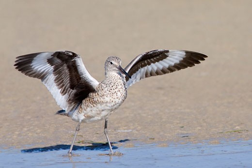 Willet (Catoptrophorus semipalmatus) flapping its wings : Stock Photo