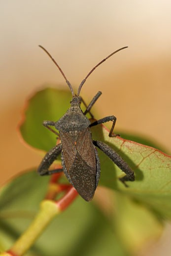 Close-up of a Florida Leaf-Footed bug (Acanthocephala femorata) : Stock Photo