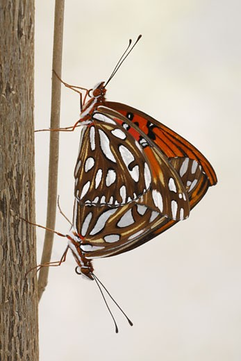 Stock Photo: 837-3659 Close-up of a Gulf Fritillary (Agraulis vanillae) butterfly