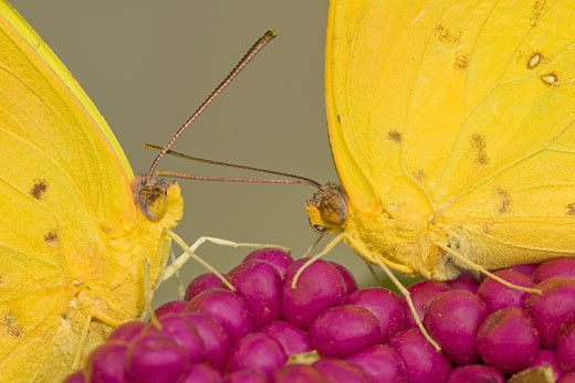 Close-up of two Orange-Barred Sulphur (Phoebis philea) butterflies on berries : Stock Photo