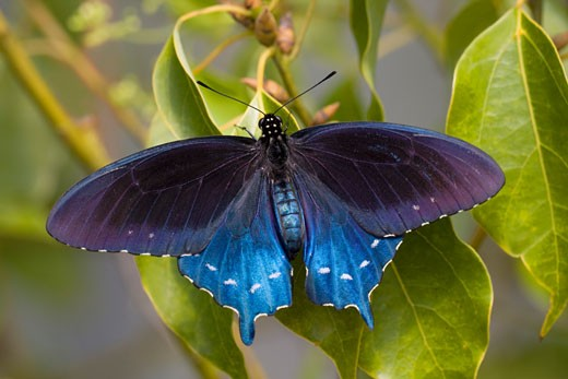 Close-up of a Pipevine Swallowtail (Battus philenor) butterfly : Stock Photo