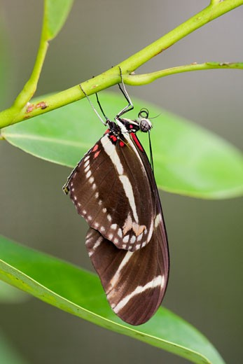 Stock Photo: 837-3686 Close-up of a Zebra Swallowtail (Eurytides marcellus) butterfly