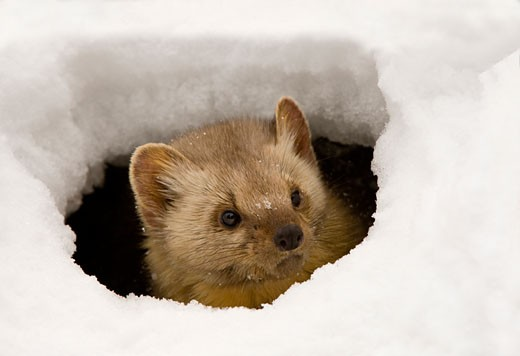 Pine marten (Martens americana) peeking from an ice hole : Stock Photo
