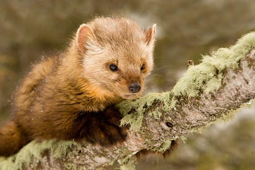 Stock Photo: 837-3714B Close-up of a Pine marten (Martens americana) on a tree branch