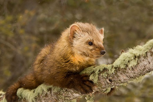 Close-up of a Pine marten (Martens americana) on a tree branch : Stock Photo