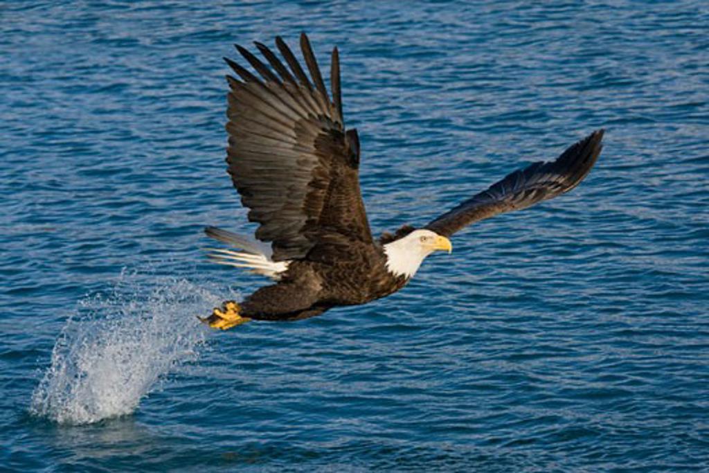 Stock Photo: 837-3733 Bald eagle (Haliaeetus leucocephalus) flying over water
