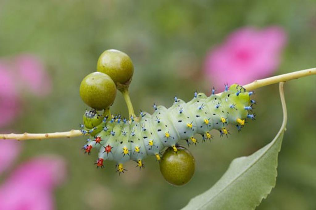 Stock Photo: 837-3766 Cecropia Moth caterpillar (Hyalophora cecropia) on a twig