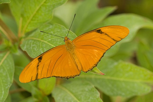 Stock Photo: 837-3786 Julia butterfly (Dryas julia) perching on leaves