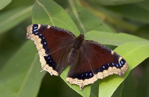 Close-up of a Mourning Cloak butterfly (Nymphalis antiopa) on a leaf : Stock Photo