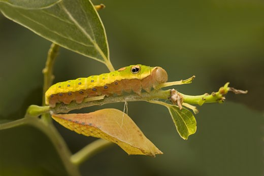 Close-up of a Spicebush Swallowtail butterfly caterpillar (Papilio troilus) and a chrysalis on a twig : Stock Photo