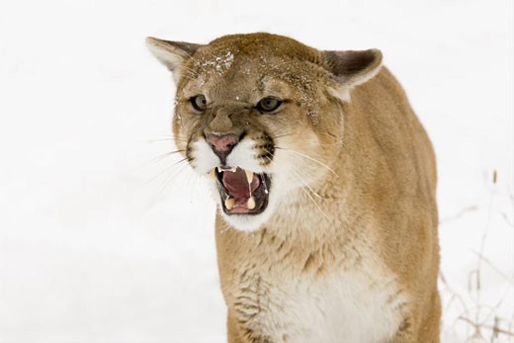 Close-up of a Mountain lion (Puma concolor) : Stock Photo