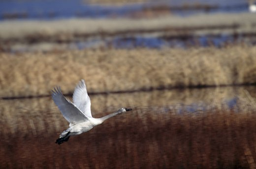 Trumpeter swan (Cygnus buccinator) flying over a lake : Stock Photo