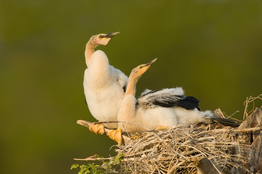 Anhinga (Anhinga anhinga) chicks in nest : Stock Photo
