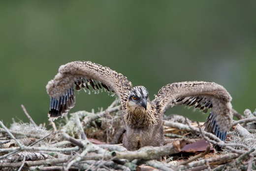 Osprey (Pandion haliaetus) chick in its nest : Stock Photo